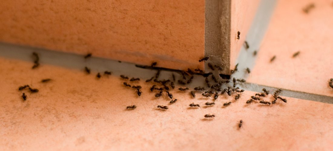 Ants in your pants! Pest Control Solihull