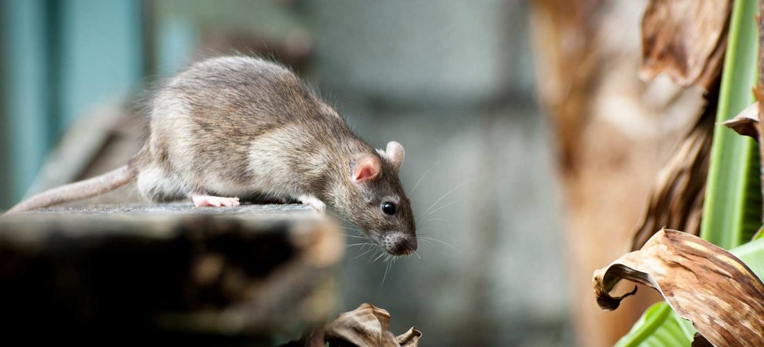 Winter Rodent Problem?