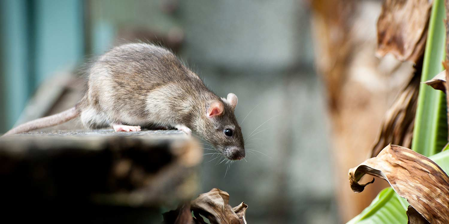 blog-rodent-problem-pest-control-sch-better-places-solihull