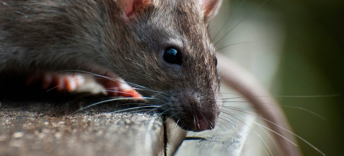 Autumn rats and mice in Solihull and Birmingham