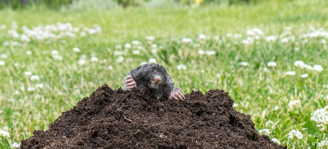 Moles (animal) in Solihull and Birmingham
